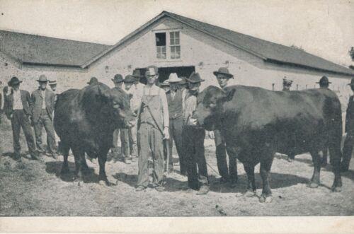 c1910 Two Huge Bulls in Farmyard with Farmers, Sale? Photo Print Postcard