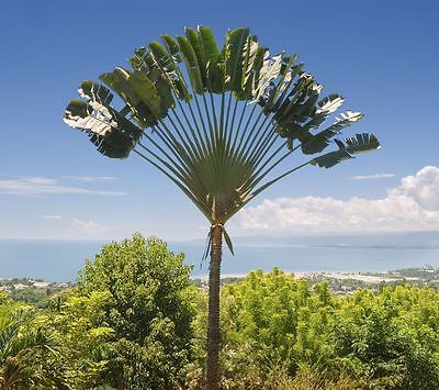 1000 Seeds Wholesale - Madagascan Traveller's Palm - Ravenala madagascariensis