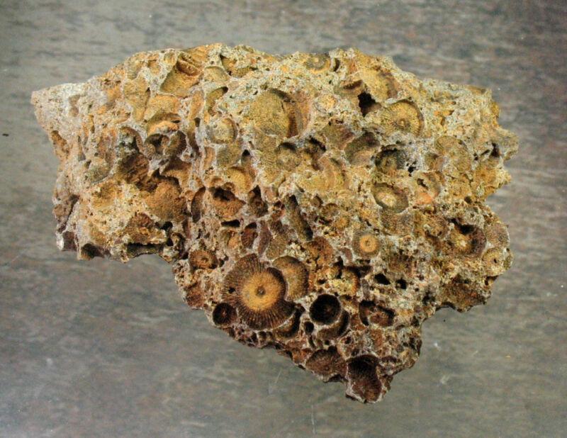 Crinoid Plate - Germany - 8.1 cm - Item 11156