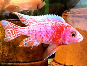 "7 pack 3/4-1"" STRAWBERRY PEACOCK  AFRICAN Cichlids!!"