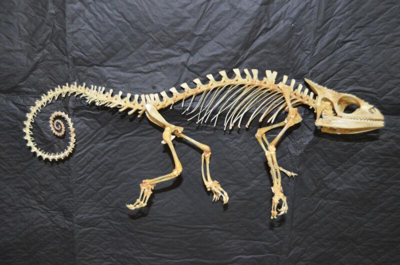 Panther Chameleon Furcifer pardalis Articulated Skeleton