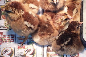 Taking orders for Partridge Chantecler Chicks