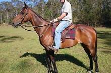 Bay ASH Gelding Petrie Pine Rivers Area Preview