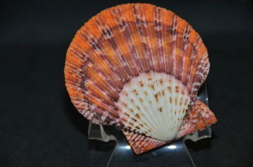 Specimen Gloripallium pallium - 68.8 mm