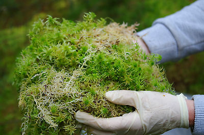 2Kgs FRESH SPHAGNUM MOSS, Loose, Best Quality, New Spagnum, Sold Moist picked