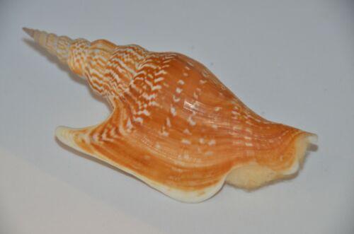 Specimen Mirabilistrombus Listeri with operculum -118.6 mm -Dredged Gulf of Siam