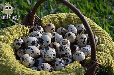 105  Jumbo Brown Coturnix And Texas A M Quail Hatching Eggs   Free Egg Scissors