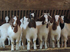 Boer Goats Female and ready for breeding