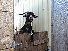 2 SPECIAL GOATS SEEKING FOREVER HOME