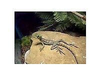 plump basilisk lizard