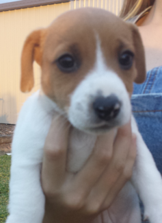 Male jack russell puppy