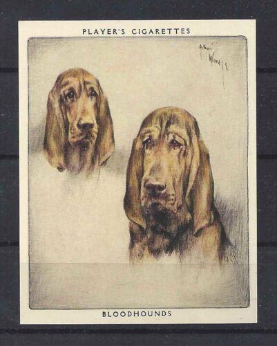 1939 Arthur Wardle Dog Art Portrait Player Cigarette Card Trailing BLOODHOUND