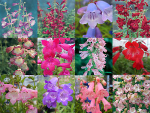 Penstemon Mixed Collection 10 x Plug Plants from Plugplants4u