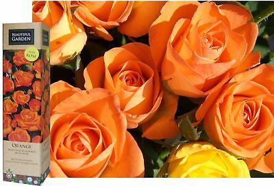 1 FRAGRANT ORANGE ENGLISH BUSH ROSE BARE ROOTED PLANT SHRUB GARDENING FLOWER