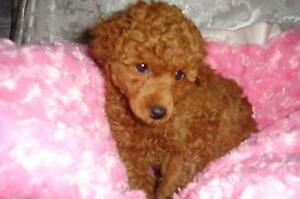 TOY POODLE RED FEMALE Lilydale Yarra Ranges Preview