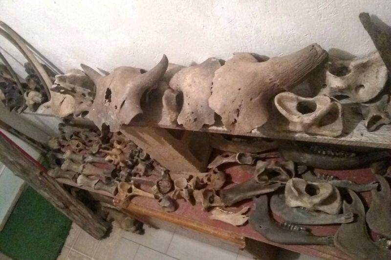 Prehistoric Bison Bones.