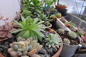 SUCCULENTS FOR SALE - Drive Way Sale TODAY! Sandy Bay Hobart City Preview