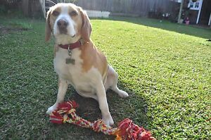 2.5 year old pure-breed beagle. Auburn Auburn Area Preview