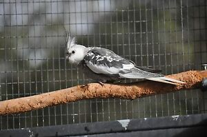 Young pair cockatiel Byford Serpentine Area Preview