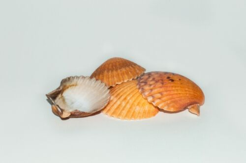 "Orange Pecten Sea Shell Beach Craft Scallop 2"" - 3"" (4 PCS ) #JC-31"