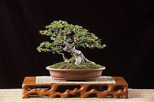 50+ Bodhi Tree Seeds - Ficus religiosa - Sacred Fig Bonsai - BKSeeds