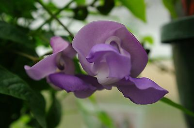 Tropical * Snail Vine Flower Seeds