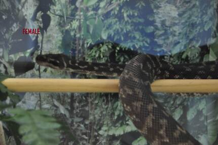 Pythons jungle - rough scaled- woma pythons- Atherton Tablelands Preview