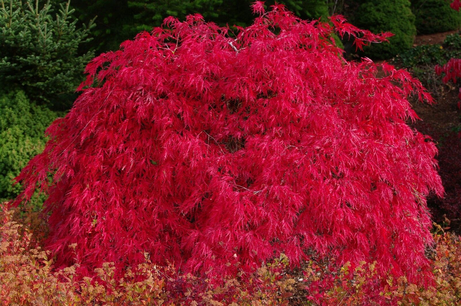 Acero rosso giapponese acer palmatum dissectum crimson for Acero rosso canadese prezzo