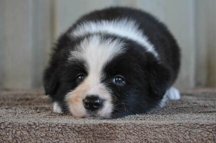 Pedigree Border Collie Puppies Cape Cleveland Townsville Surrounds Preview