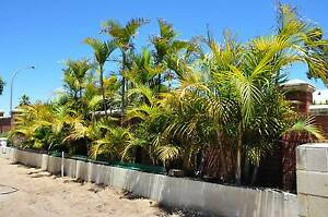 Golden Cane Palms - Advanced Sun Grown Woodvale Joondalup Area Preview