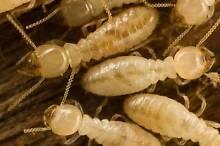 Robertson's Pest Control Salisbury North Salisbury Area Preview
