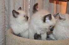 Ragdoll Kittens Melbourne Region Preview