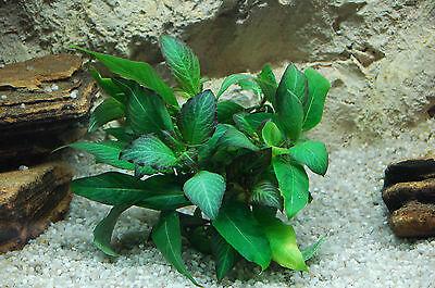 Kirschblatt Riesenwasserfreund Hygrophila corymbosa Wasserpflanzen Aquarium TOP ()