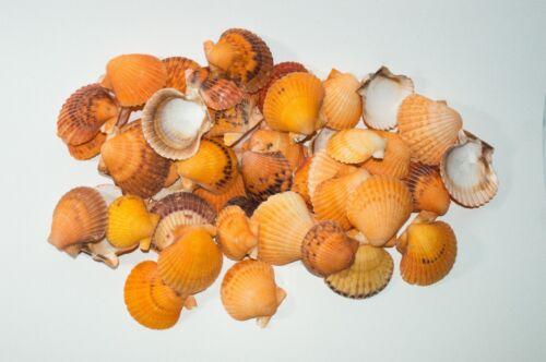 "Orange Pecten Sea Shell Beach Craft Scallop 2"" - 3"" (50 PCS )"