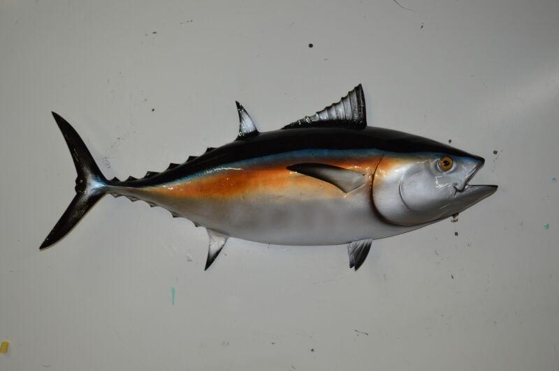 "35"" Black Fin Tuna  Half Mount"