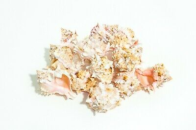 Murex Shell - Pink Murex Phyllonotus erythrostomu Hermit Crab Sea Shell 2