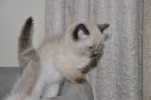 Ragdoll Kittens Pakenham Cardinia Area Preview