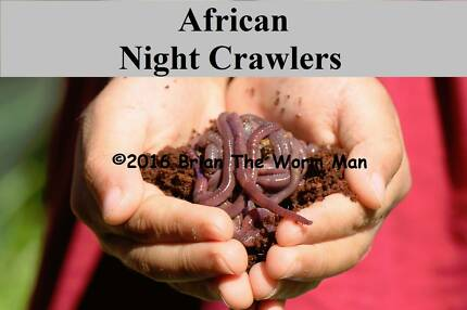 Fishing Bait Worms, European OR African Night Crawlers