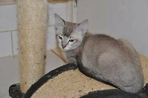 Ragdoll x Burmese Kittens Pakenham Cardinia Area Preview