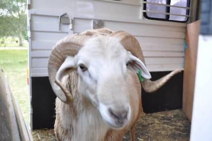 Damara Ram for sale Thirlmere Wollondilly Area Preview