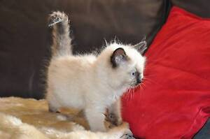 Ragdoll Kittens Pakenham Cardinia Area Preview