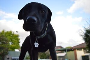 1 year old Labrador x Staffy
