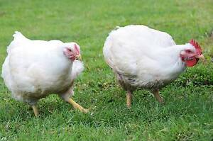 CHICKENS FOR SALE Innisfail Cassowary Coast Preview
