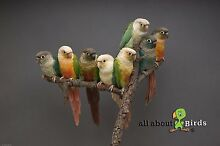 BREEDERS SELL OUT- BLUE GREEN CHEEKED CONURES Windsor Hawkesbury Area Preview