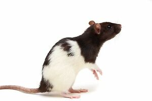 Looking for a female rat