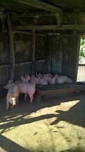 Grower pigs Gin Gin Bundaberg Surrounds Preview