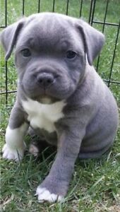 Wanted: LOOKING for a blue staffy puppy