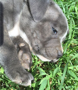 Blue staffy pups with pedergree papers Murchison Outer Shepparton Preview