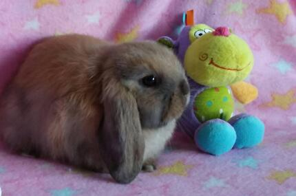 Purebred Mini Lop Baby Girls Registered Club Member Melton Melton Area Preview