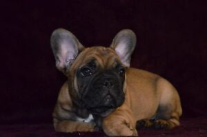 THE BEST QUALITY FRENCH BULLDOG PUPPIES!!!!